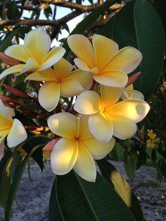 Plumeria/Frangipani Tree - An Indiana & Florida Spring tropical flowers, Southern Florida sarahdtowne.com