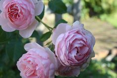 Pink roses | Hasenschneck