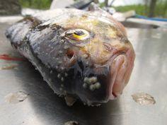 Kalan perkaaminen – How to Clean a Fish