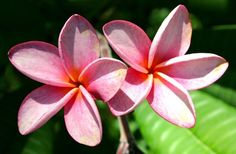 How to Feed & Care for Plumeria