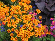 Item ID: 1076 Genus: Ursinia Plant Lists: Easy Reseeders, Drought . Bulb Flowers, Love Flowers, Beautiful Flowers, Winter Plants, Winter Garden, Garden Seeds, Garden Plants, Deer Resistant Flowers, Low Water Landscaping