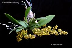 Trichocentrum pumilum - Orchid Board - Most Complete Orchid Forum on the web !