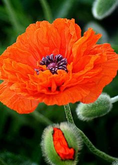 Poppy by Bill Pevlor