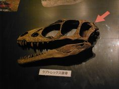Raptorex_Head.jpg (3648×2736) - Dinosauria, Saurischia, Theropoda, Tetanurae, Coelurosauria, Tyrannosauroidea, Tyrannosauridae, Tyrannosaurinae. Auteur : Kumiko / Flickr. 2011.