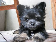 My very own Maltese-Pomeranian when she was just a pup