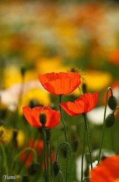 orange poppy (by * Yumi *)
