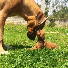 """10 Likes, 2 Comments - Loki&Leon (@lokiandleon) on Instagram: """"Our humans are car dealers, quess that's why we drive that often #rhodesianridgeback…"""""""