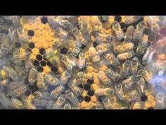 SHORT VIDEO: Very Cool - Worth Watching Blue Pollen, Waggle Dances over the Yellow Pollen and an emerging baby bee - good little video from The Honey Exchange in Portland, ME