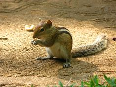 indian palm squirrel - Google Search
