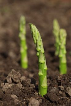 How To Make An Asparagus Bed  http://www.gardeningknowhow.com/edible/vegetables/asparagus/planting-asparagus-how-to-make-an-asparagus-bed.htm