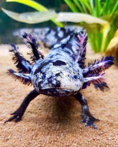 Les Reptiles, Cute Reptiles, Reptiles And Amphibians, Axolotl Pet, Axolotl Care, Cute Baby Animals, Animals And Pets, Funny Animals, Beautiful Creatures