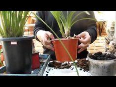 como eu planto a orquídea cymbidium
