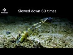 Amazing Video Of A Mantis Shrimp Spearing A Fish In Slow Motion | IFLScience