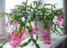 7 Indoor Plants That Bloom in Winter Indoor Flowering Plants, Best Indoor Plants, Indoor Flowers, Weird Plants, Unusual Plants, Rare Plants, Container Plants, Container Gardening, Christmas Cactus Care