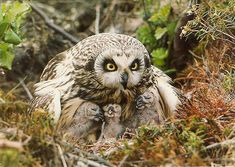 Short-eared Owl with it's babies.