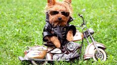 Yorkshire Terrier in biker suit Animal HD desktop wallpaper, Dog wallpaper, Yorkshire Terrier wallpaper - Animals no. Cute Puppies, Cute Dogs, Dogs And Puppies, Terrier Puppies, Yorkshire Terriers, Yorkshire Dog, Cute Funny Animals, Funny Dogs, Funny Memes