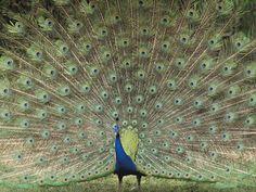 indian peafowl wallpaper animals wallpaper