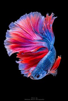 Beautiful #colors of this Siamese fighting fish. #Fish #Betta #SiameseFightingFish