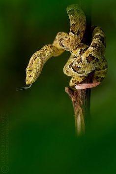 Spotted Lancehead (Bothrops punctatus) - Juvenile by Lucas M. Bustamante on Flickr