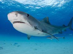 Haie: Gefährliche Jäger in den Tiefen des Meeres