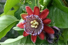 Passiflora Alata (Collezione di Maurizio Vecchia)