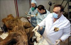 It sounds like a real-life Jurassic Park, but the woolly mammoth could be stomping the Siberian taiga in less than 20 years. http://siberiantimes.com/other/others/news/woolly-mammoths-could-be-living-in-siberia-within-a-decade-or-two/