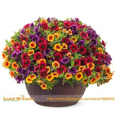 100 seeds, Mix Calibrachoa Garden Petunia Shuttlecock Flower Horn Bonsai Flower Seed Bonsai Seeds for DIY Garden Deco #containergardeningpots