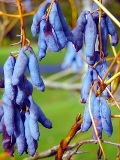 'Dead man's fingers' (Decaisnea fargesii) - Asian plant with apparently edible blue fruit.
