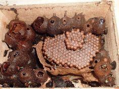 Manduri do matogrosso (M. favosa)