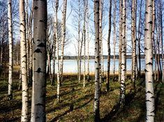 -350x260cm-7Bahnen 50x260cm-Wald Bäume Sonne XXL Fototapete-FOREST MORNING- 363P