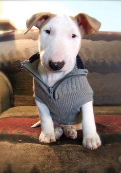 Mini-bull terrier in a killa-cute sweater...