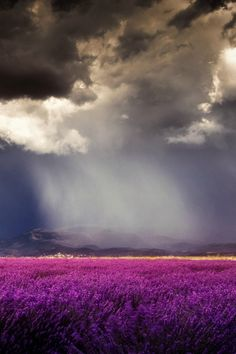 Stormy at the lavender field in Riez France