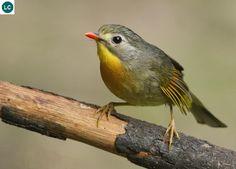 Kim Oanh mỏ đỏ tiểu lục địa Ấn Độ | Red-billed leiothrix/ Pekin robin (nightingale)/Japanese robin (nightingale) (Leiothrix lutea)(Leiothrichidae) IUCN Red List of Threatened Species 3.1 : Least Concern (LC) | (Loài ít quan tâm)