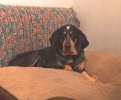 Bluetick Coonhound dog for Adoption in Warwick, RI. ADN-598358 on PuppyFinder.com Gender: Male. Age: Adult