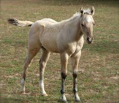 Buckskin colt by Dun Faded My Genes