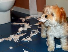 Caught in the Act ... Heidi the Havanese Bichon puppy.  Same name as mine, and she likes to assist with shredding paper too.