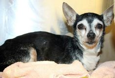 Tiffany: 10-year-old Chi beauty is out of time at high-kill upstate shelter RESCUED