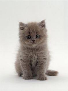 El gato Persa - Miau, el blog de gatos de Maskokotas #gatos #animales #mascotas