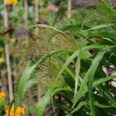 PRYDNADSHIRS 'Frosted Explosion' i gruppen Ettåriga blomsterväxter hos Impecta Fröhandel (8941)