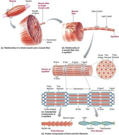 Sarcomere extends from one Z disc to the next Science Biology, Medical Science, Body Muscle Anatomy, Muscular System Anatomy, Human Skeleton Anatomy, Medicine Notes, Exercise Physiology, Muscle Contraction, Medical Anatomy