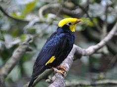 Golden-crested Myna (Ampeliceps coronatus) is a species in the starling and myna family Sturnidae. It ranges from India to Vietnam and northern Malaysia, and has been introduced to the British Indian Ocean Territory.