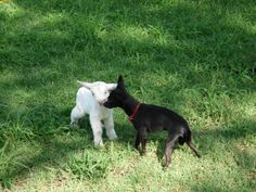 Gardenia (white pygme goat) just hrs old,  Yoda (black toy chihuahua) 2 yrs old