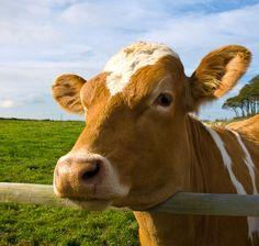 Geluiden boerderijdier Kinderen en baby's houden ervan om te leren over boerderijdieren. Deze video toont verschillende soorten dieren en stelt de geluiden d...