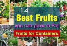 Лучшие фрукты расти в горшках    Фрукты для контейнеров