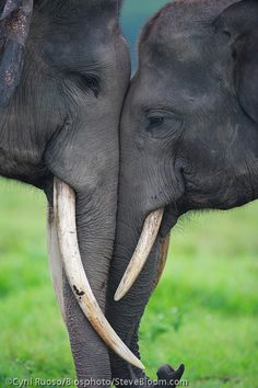 Games of youngs males Asian elephants Sumatra Indonesia Image by Steve Bloom