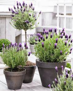 sweet lavender .. X ღɱɧღ