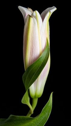 Birth of a Lily - Lovely Photo
