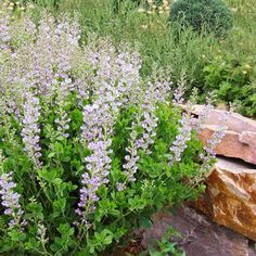 purple-baptisia-false-indigo-variety-c0b381d2 Clay Soil Plants, Planting In Clay, Planting Bulbs, Planting Flowers, Best Perennials, Hardy Perennials, Flowers Perennials, Garden Yard Ideas, Lawn And Garden