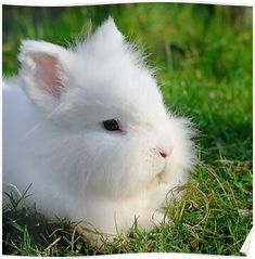 The Angora rabbit is a variety of domestic rabbit bred for its long, soft wool. Alpacas, Hamsters, Baby Animals, Cute Animals, Fluffy Animals, Country Critters, Rabbit Breeds, Angora Rabbit, Hare