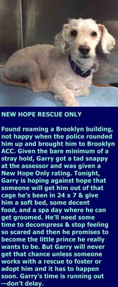 9/14/16 - SUPER URGENT Brooklyn Center My name is GARRY. My Animal ID # is A1088679. I am a neutered male white poodle min mix. The shelter thinks I am about 3 YEARS old. I came in the shelter as a STRAY on 09/06/2016 from NY 11207, owner surrender reason stated was STRAY. http://nycdogs.urgentpodr.org/garry-a1088679/